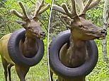 Bull elk which has had a tire stuck around its neck for a YEAR is spotted on Colorado trail camera