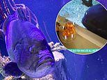 Lonely Grouper fish became 'depressed' after eating all his tank mates