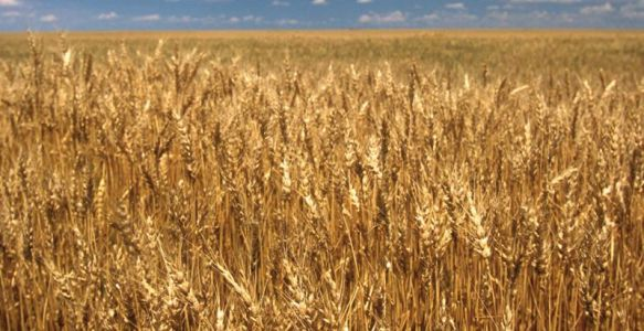 Give us this day our daily bread. wheat genome