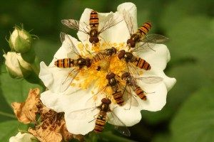 Migrating hoverflies are providing essential pollination and pest control in the UK