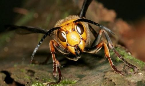 Asian hornets with sting which can kill have invaded the UK - and it could cost £7million