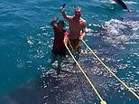 Two men spark fury after 'surfing' on a WHALE SHARK in cruel stunt off of Caribbean resort
