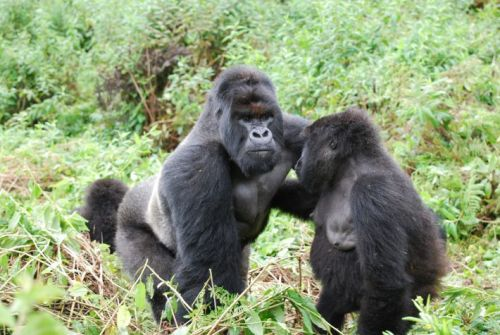 Mountain gorillas are good neighbours - up to a point