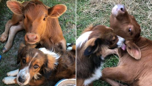 Reject cattle puppy becomes best friends with disabled calf