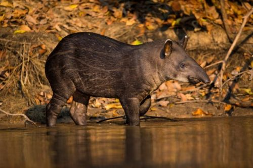 Large herbivores increase biodiversity in tropical forests