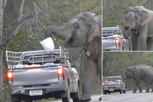 Wild elephant astonishes drivers by stopping traffic to teach son to steal food