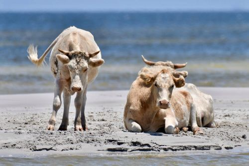 Castaway cows found two months after being swept away by Hurricane Dorian