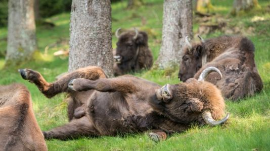 Wild bison to roam free in UK for first time in 6,000 years