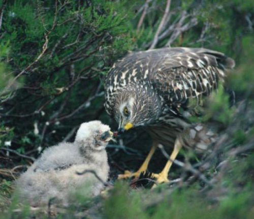 3rd brood meddled hen harrier 'disappears' in suspicious circumstances