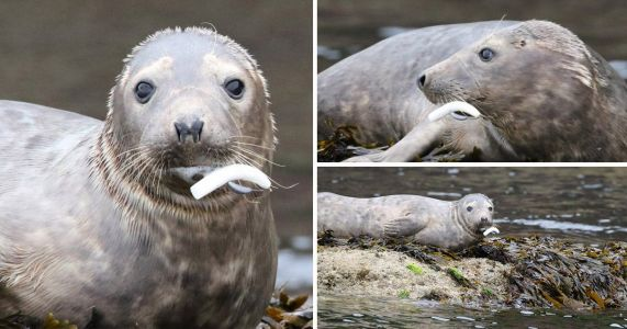 Heartbreaking photos show seal starving to death with hook in its mouth