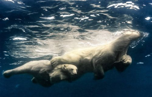 I went diving with polar bears in the wild