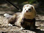 Ferret Bandit ran a marathon in two weeks to raise more than £2000 for charity - then escaped