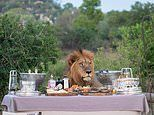 Would you like your steak done roar? Lion stuns group of safari as he ambles up to their picnic