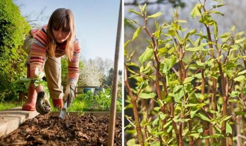 Knotweed warning: Why this plant should fill you with dread if it appears in your garden