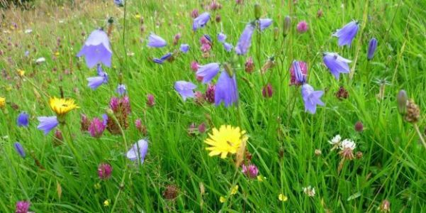 Management of wildflower-rich meadows