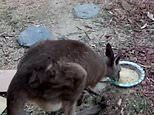 Kangaroo and her joey eat food from a bowl at man's house