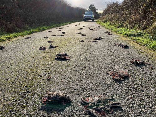 Police called to solve mystery of deaths of hundreds of starlings in road