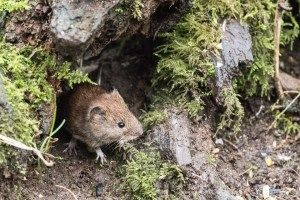 Know your Bank Vole!