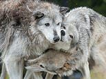 Enchanting new book reveals how wolves care for their elderly and always put family first