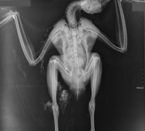 Appeal for information after buzzard found containing shot at Askham Richard