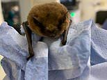 To the Batmobile! Stowaway bat hides in Vauxhall car from France to Hartlepool